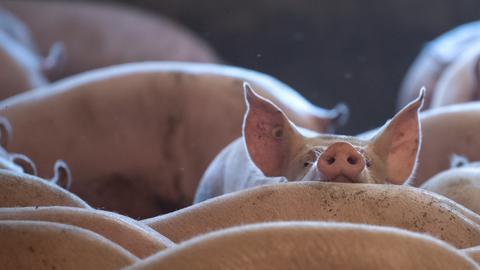 Schweine stehen in einem Stall. (dpa)