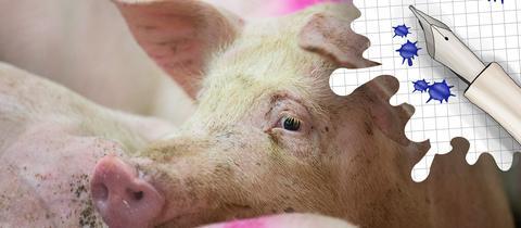Schwein und Grafik