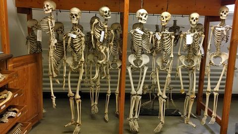 Skelette im Museum anatomicum der Philipps-Universität Marburg