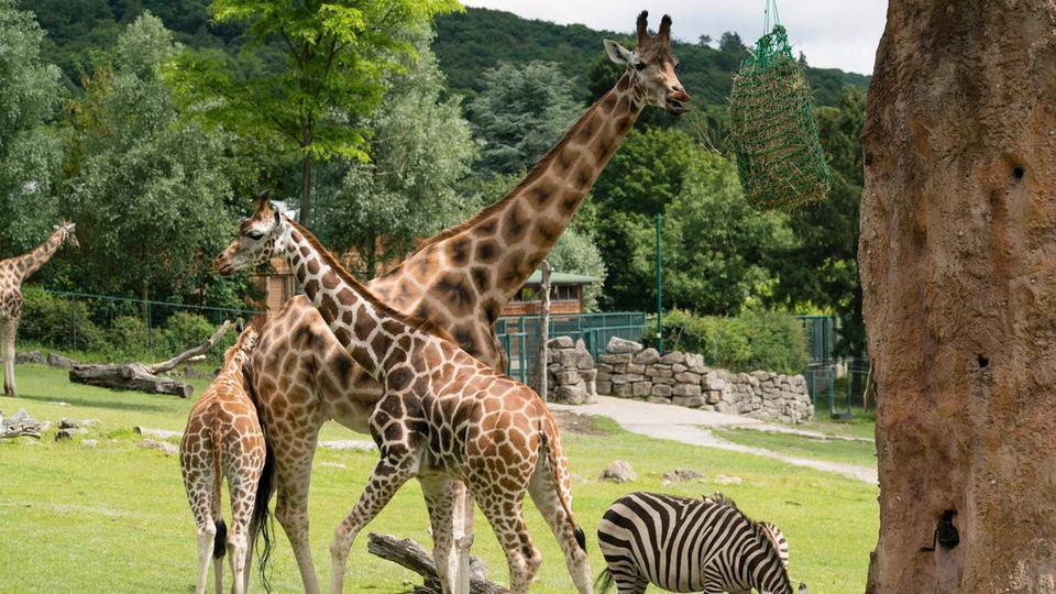 kronberger opel-zoo plant millionen-investitionen | hessenschau.de