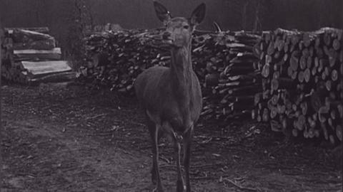 Standbild in schwarzweiß, das eine Hirschkuh auf einem Waldweg zeigt.